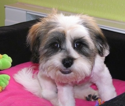 Lucy the Lhatese (Lhasa Apso / Maltese hybrid dog)
