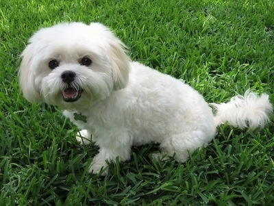 Mia the Maltese / Lhasa Apso mix at about 5 years old