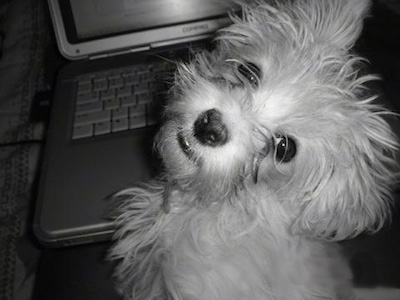A close up black and white photo of a Lhatese puppy is sitting in front of a laptop and looking back. It looks like it has fly-away hair.