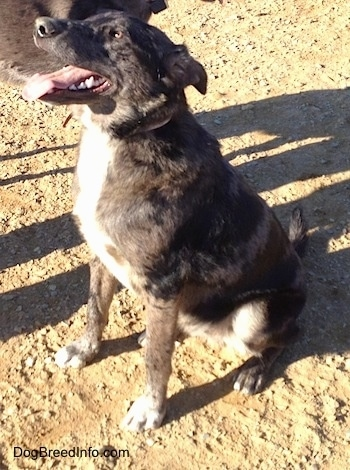... the Louisiana Catahoula Leopard Dog / Blue Heeler mix at 8 months old