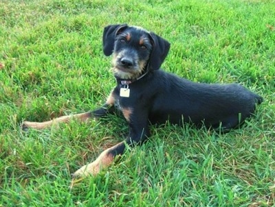 A wiry looking, black with tan Doberman Pinscher/Schnauzer/Shetland Sheepdog mix is laying in grass looking up and to the left of its body.