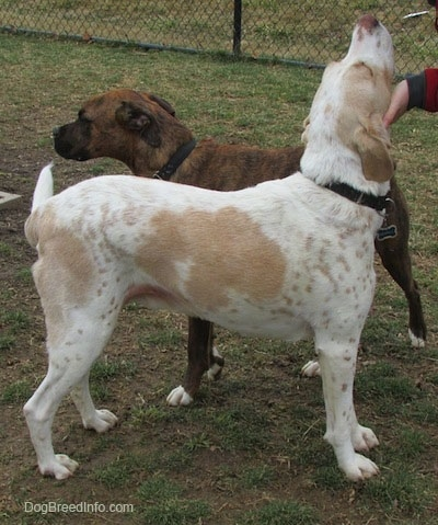 A white with tan ticked Mally Foxhound dog is standing in dirt and there is a person in front of it holding up the dogs head rubbing it deep under its chin. There is a brown brindle dog standing next to the Mally Foxhound. There is a black chain link fence in the background.