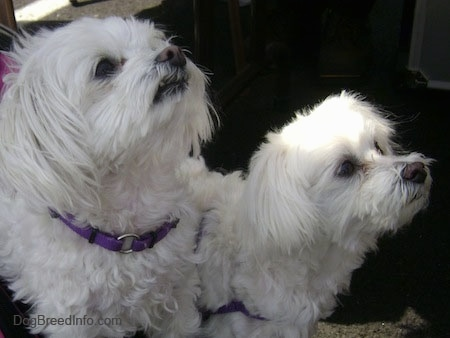 Two white Maltese are standing on a carpet looking up and to the right.
