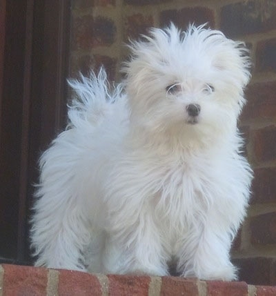 A fluffed out looking white Maltese puppy is standing at the top of a brick staircase looking down the stairs.