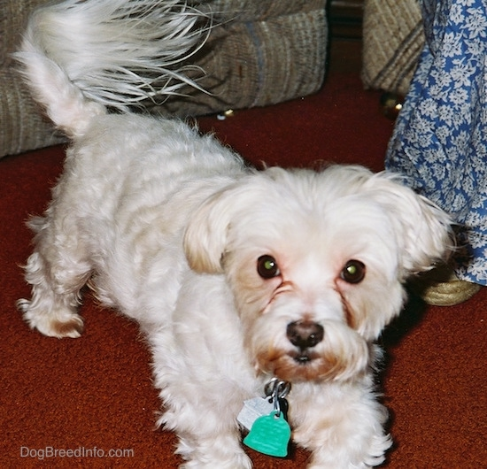 A groomed shorthaired white Maltese is standing on a red rug and looking forward with a silver and a green dog tag hanging from its collar. There is a person in a blue dress and a tan couch next to it.