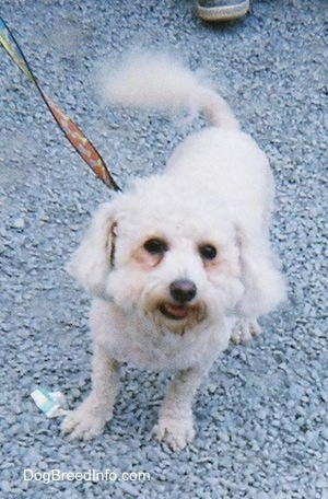 Front view - A groomed short white Maltese is standing in gravel looking up.  There is a person behind it.