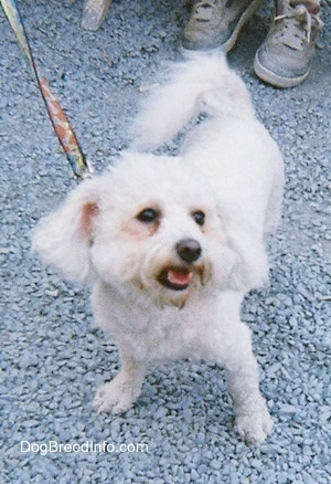 View from the front - A groomed short white Maltese is standing in gravel and looking up and to the right with its mouth open.
