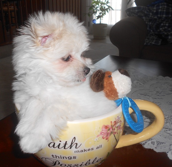 A white with tan Maltipom puppy is sitting in a ceramic yellow tea cup with a plush toy. The cup is on a table. The cup says 'Faith makes all things possible'