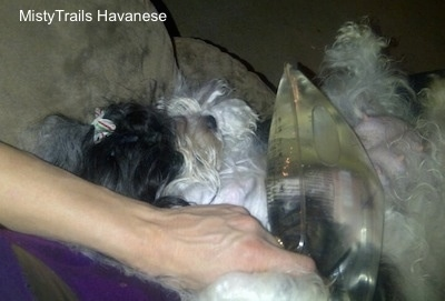 This picture shows a heat pack being placed on a dog's teet with mastitis.