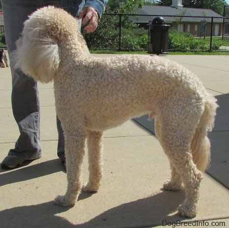 Side view of a shaved short, curly coated, cream Labradoodle standing on a concrete block with a person standing in front of it reaching down to pet it.