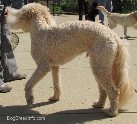 A shaved short, curly coated, cream Labradoodle is standing on a concrete block. It is swinging its head around and it has longer hair on its tail. There is another dog in the background. There is a person in front of the Labradoodle.