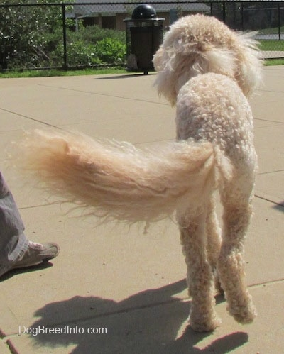 View from the back - A shaved short, curly coated, cream mini Labradoodle is walking away on a concrete surface.