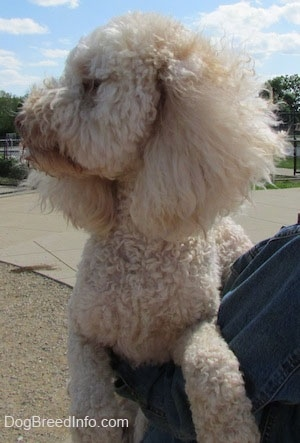Head and upper body shot - A shaved short, curly coated, cream Mini Labradoodle is outside being held up in the arms of a person who is wearing a blue jean jacket. The dog is looking to the far left.