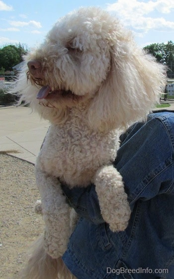 Head and upper body shot - A shaved short, curly coated, cream Mini Labradoodle is outside being held up in the arms of a person who is wearing a blue jean jacket. Its mouth is open and tongue is out.