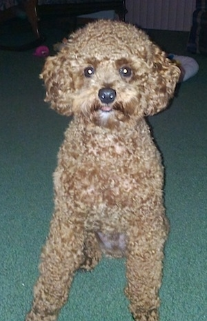 Front view - A tan Miniature Poodle is sitting on a green carpet looking forward.