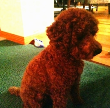Rudy the Miniature Poodle at 1 year old
