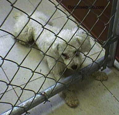 View from the top looking down - A white Miniature Poodle dog is laying on a white tiled floor in front of a chain link fence inside of a pen with its front paws under the fence. It is looking forward.