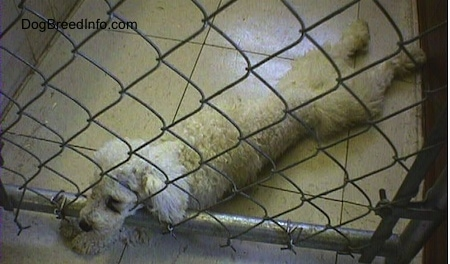 View from the top looking down - A white Miniature Poodle dog is laying on a tiled floor. It is stretched out with its head pushing into a chain link fence inside of a pen with its front paws under the fence.