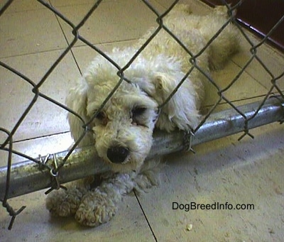 Close up - A white Miniature Poodle dog is laying on a tiled floor. Its head is pushing into a chain link fence inside of a pen with its front paws under the fence.