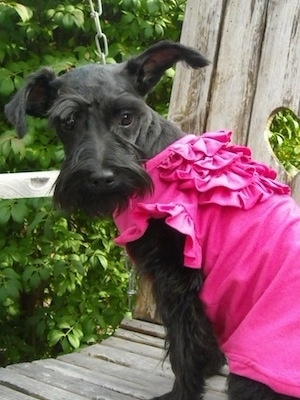 A shaved black Miniature Schnauzer puppy is sitting on a wooden rocking porch chair wearing a hot pink shirt and it is looking behind itself.
