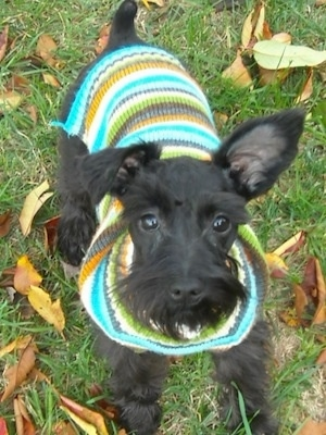 View from the top looking down - A black Miniature Schnauzer puppy is sitting in grass with fallen leaves all around it looking up. It is wearing a colorful sweater.