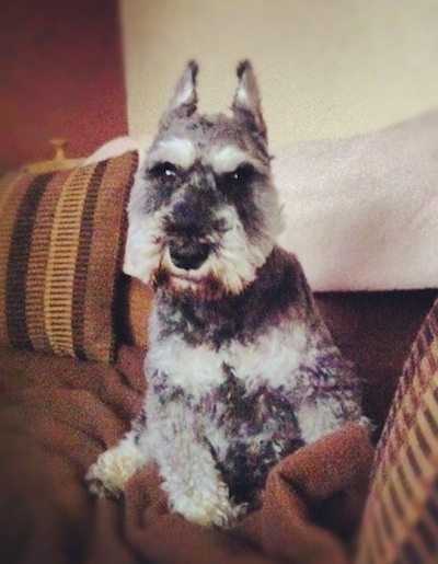 A black with gray Miniature Schnauzer is sitting on a tan couch with its head slightly tilted to the right.