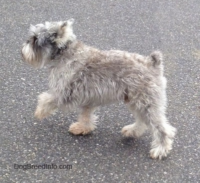 Side view - A grey with white Miniature Schnauzer is walking up a street with one front paw in the air.