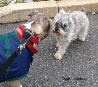 A grey with white Miniature Schnauzer is standing in a street nose to nose with an American Pit Bull Terrier who is wearing a blue with green vest.