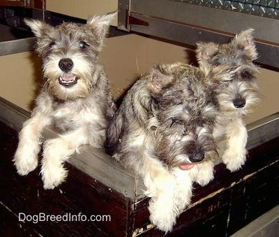 A litter of three Miniature Schnauzer puppies are standing jumped up on the edge of a wooden whelping box.