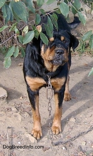 A large breed, wrinkly faced, black with tan Rottweiler/Chow Chow mix is standing under a tree in dirt connected to a large chain.