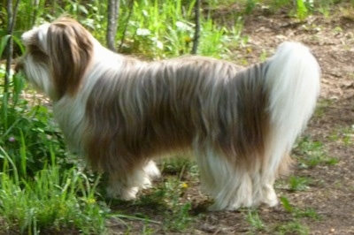 Left Profile - A longhaired tan and white Lhasa apso/Maltese/Labrador Retriever mix is standing outside on a dirt path with tall grass in front of it.