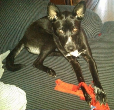 A black with white short-haired, perk-eared dog is laying on a black and gray striped couch and there is a red toy in-between its front paws.