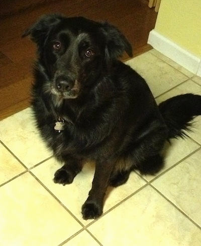 A large black medium-haired dog is sitting on a tan tiled floor in a doorway opening to a room wiht hardwood floors. It is looking up.