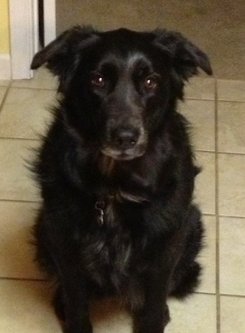 A large black medium-haired dog is sitting on a tan tiled floor and looking up.