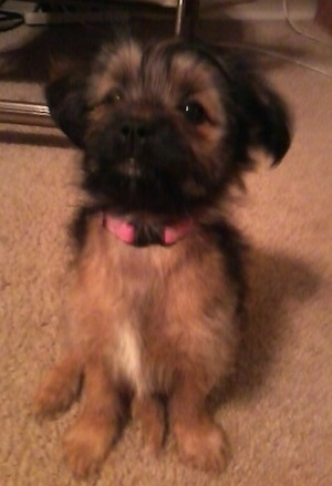A black and brown Miniature Pinscher/Shih Tzu/Lhasa Apso mix puppy is sitting on a carpet and it is looking up.