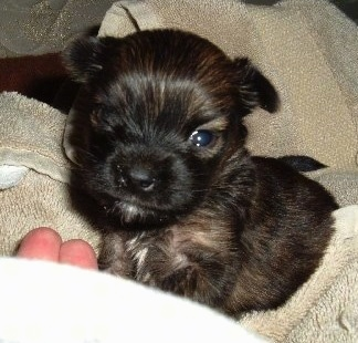 A young, black and brown Miniature Pinscher/Shih Tzu/Lhasa Apso mix puppy is laying on a wrapped towel.