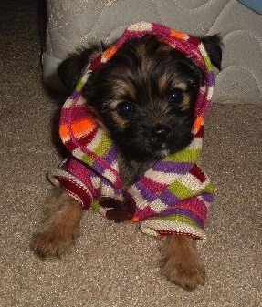 A black and brown Miniature Pinscher/Shih Tzu/Lhasa Apso mix puppy is wearing a colorful hoodie and it is laying in front of a mattress and box spring.