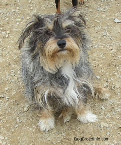 A shaggy, long-coated, grey, black, white and tan mixed breed dog is sitting in dirt and it is looking up.