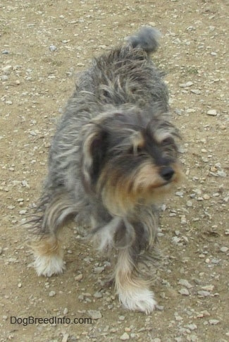 A shaggy grey, black, white and tan mixed breed dog is walking down dirt and it is looking to the right.