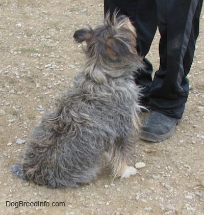 The back of a shaggy grey, black, white and tan mixed breed dog that is sitting in front of a person and looking up.