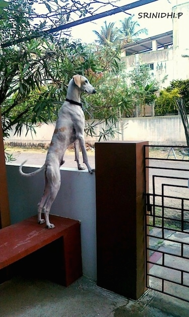 Sadhu the Mudhol Hound is standing on a bench in a yard with its front paws on a concrete wall and looking over it