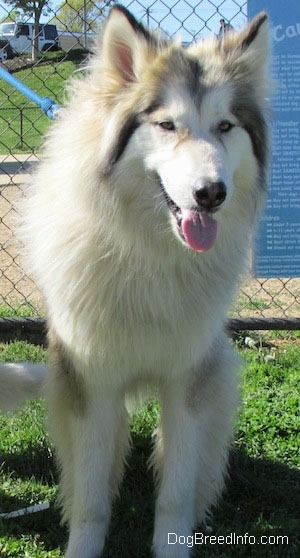 View from the front - A longhaired, fluffy, wolf-looking, grey with tan and white Native American Indian Dog is standing in grass looking forward in front of a chainlink fence. Its mouth is open and tongue is out.