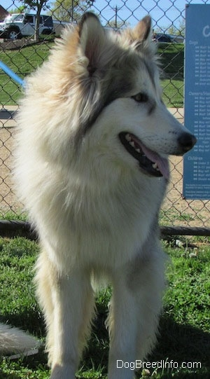 A panting, longhaired, perk-eared, wolf-looking, grey with tan and white Native American Indian Dog is standing in grass looking to the right in front of a chainlink fence.