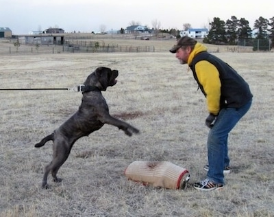 A black brindle Neapolitan Mastiff has a leash and collar on that holds it back, but it is trying to move forward, so the force holding it back and the dogs determination are making it stand on its hind legs to get to the man in jeans, yellow shirt, black vest and baseball cap who is standing in front of it. They are outside in a field of brown grass.