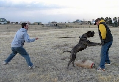 Bintu the working Neapolitan Mastiff with her Schutzhund trainer Mark Chaffin; owned by The Tornabene's
