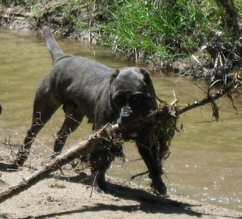 A black brindle Neapolitan Mastiff is standing on a bank next to a stream of water. It is pulling a large stick in its mouth.