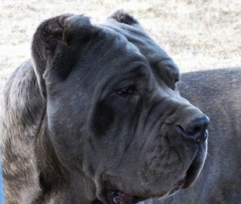 Close up side view head shot - A black brindle Neapolitan Mastiff is standing outside in grass and looking to the right.