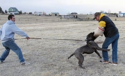 A man is pulling the leash of a black brindle Neapolitan Mastiff dog. The Mastiff is biting the arm of a man that is wearing a padded arm wrap.