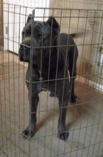 A gray with white Mastiff is standing in a x-pen fence shaped like an octagon inside of a house.