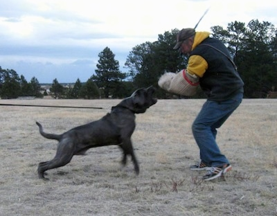 Sulo the working Neapolitan Mastiff with the Schutzhund trainer Mark Chaffin; owned by The Tornabene's